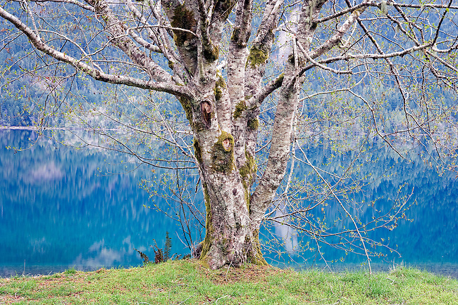 early spring Red Alder on Crescent Lake Washington State