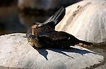 Cormorant Courtship Behavior Southern California