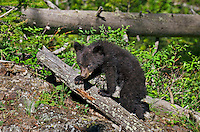 "Wild Black Bear (Ursus americanus) cub.  Western U.S., spring. (This is what is known as a ""coy""--cub of the year.)"