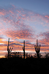 Dawn clouds and silhouetted saguaros (Carnegiea gigantea) at sunrise, Sabino Canyon Recreation Area, Coronado National Forest, Arizona