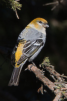 Female pine grosbeak perched on a pine tree branch