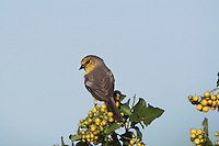 Verdin (Auriparus flaviceps), adult perched, Sinton, Corpus Christi, Coastal Bend, Texas, USA