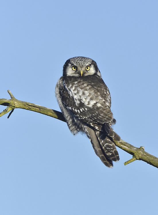 Hawk Owl - Surnia ulula