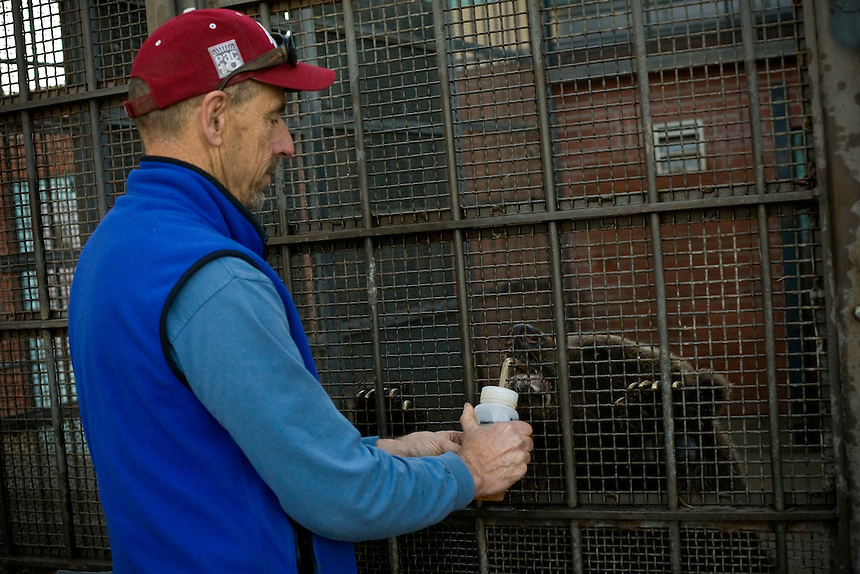 Dr. Charles Robbins, director of Washington State University's Bear Research Center in Pullman, Wash., feeds fish oil to a bear in preparation for hibernation. The fish oil provides added nutrients that will help the bears survive through the winter. ..(Matt Mills McKnight for The Wall Street Journal)