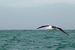 Black-browed Albatross (Thalassarche melanophrys) gliding over ocean, Kaikoura, South Island, New Zealand