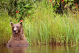 USA, Alaska, grizzly bear in weasel lake, Redoubt Bay
