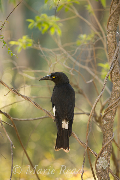 Pied Currawong (Strepera graculina), Carnarvon Gorge National Park, Queensland, Australia