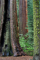Giant sequoias and mountain dogwood<br />