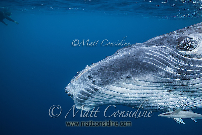 Close up of humpback whale with a swimmer on the surface. (Photo by Underwater Photographer Matt Considine)