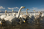 A large group of whooper swans crowd around me on Lake Hokkaido's shore. Traditionally, the people of Hokkaido disperse grain during winter to augment the whooper swans' diet. As a result, these reclusive birds, which nest in the tundra of Eastern Europe, have lost all fear of humans. The loud, aggressive swans pecked at me, apparently expecting a reward for posing. With a 16-35 mm wide-angle perspective, I was able to emphasize the swans while including the austere Hokkaido Mountains in winter.