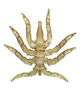 Sea Spider - Pycnogonum littorale