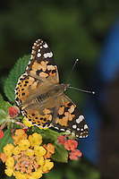 Painted Lady, Vanessa cardui, adult on lantana, Oberaegeri, Switzerland, Europe