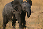 African elephant calf, Okavango Delta, Botswana