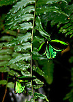 Two of Australia's largest butterfly, the Cairn Birdwings (Ornithoptera euphorion), are fluttering around a green fern showing of their irridescent green marking on their black wings.