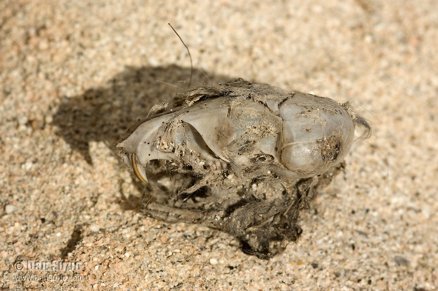 Rodent skull found in owl pellet, Red Rock Canyon State Park, California