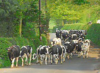 The Loudbank herd of pedigree Holstein dairy cows on their way in for milking at H. E. Airey and Sons' Thornley Hall, Thornley, Longridge, Lancashire.