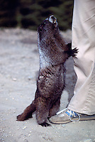 Hoary Marmot (Marmota caligata) holding Pant Leg and begging for Food, Manning Provincial Park, BC, British Columbia, Canada (Model Released for Person)