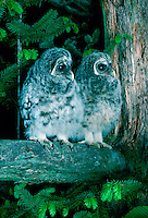 Two immature barred owls