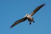 Brown Pelican (Pelecanus occidentalis) in flight. Yucatan, Mexico. February.