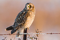 01113-01413 Short-eared Owl (Asio flammeus) on fence post Prairie Ridge State Natural Area Marion Co. IL