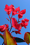 Flores. Begonia ( Begonia coccinea)) UK. Foto de Manuel Lourenço.