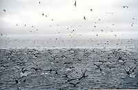 Flock of birds on the Bering Sea during winter