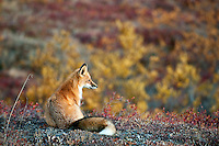 Red fox in the fall colors during early autumn in Denali National Park. Alaska