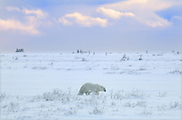 Polar bear Ursus maritimus on frozen tundra<br /> Churchill<br /> Manitoba<br /> Canada