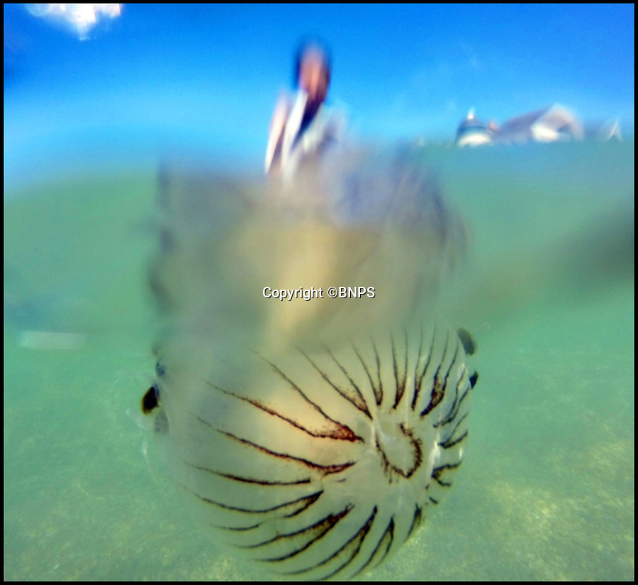 BNPS.co.uk (01202 558833)Pic: BNPS<br /> <br /> A Compass Jellyfish who carry a nasty sting pictured in the sea just off Preston Beach Weymouth.<br /> <br /> The south coast of England is under invasion by an army of poisonous jellyfish revelling in the rising water temperatures brought on by the summer heatwave.<br /> <br /> The stark warning comes amid numerous sightings of the feared Compass jellyfish which carries a very painful sting in bays off Dorset, Devon and Cornwall.<br /> <br /> Shocked engineer Idris Martin encountered a Compass jellyfish while out snorkelling with his daughter Julie off a beach in Weymouth.