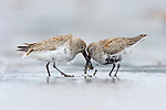 Two adult Dunlin (Calidris alpina) molting into breeding (alternate) competing for a prey item during spring migration. Gray's Harbor County, Washington. April.