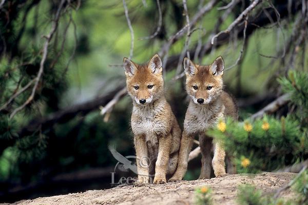 Wild Coyote (Canis latrans) pups near den.   Western U.S., June.