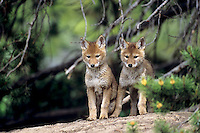 Wild Coyote (Canis latrans) pups near den.   Western U.S., June.