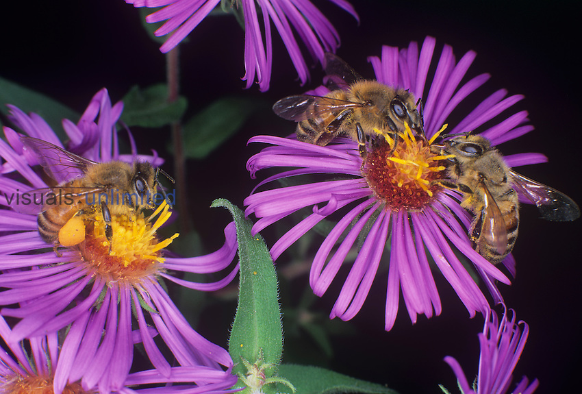 Honey Bees ,Apis mellifera, pollinating New England Aster flowers. Note the pollen on the bees and the pollen basket on the hind leg of the left bee.