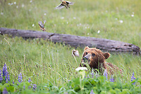 Coastal brown bear in a meadow of lupine wildflowers flushes willow ptarmigan chicks, Katmai National Park, Alaska Peninsula, southwest Alaska.