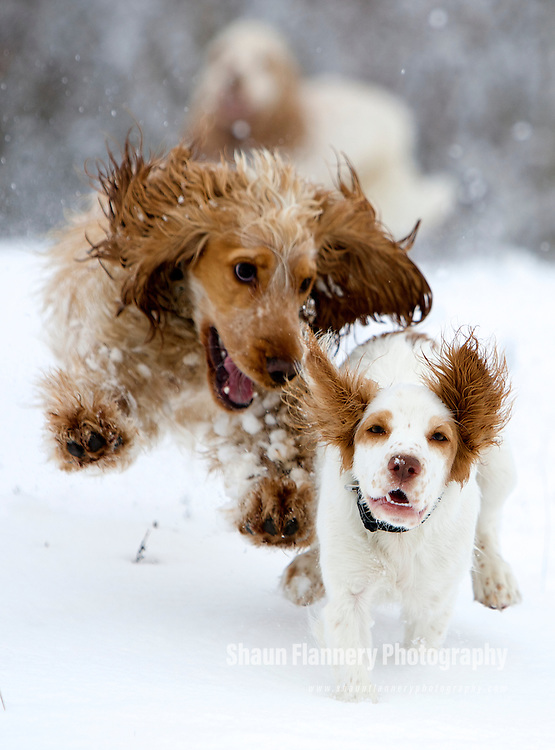 Pix: Shaun Flannery/shaunflanneryphotography.com...COPYRIGHT PICTURE>>SHAUN FLANNERY>01302-570814>>07778315553>>..21st February 2010..........Snow Fun..Orange Roan Cocker Spaniel dog, Harvey and Lily.