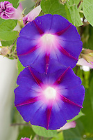 Ipomoea nil striped blue and red morning glories flowers vine