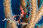Podochela sidneyi, Shortfinger neck crab, Roatan