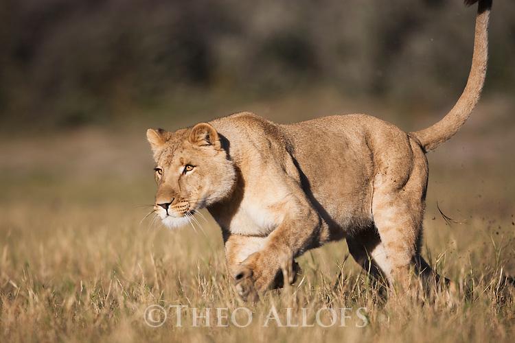 Botswana, Kalahari, private game reserve, lioness running in grass, captive