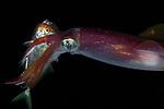 Reef squid catching fish, Black Water; Gulf Stream Current off SE Florida; Plankton; larval fish; pelagic larval marine life; plankton creatures, marine behavior, squid behavior