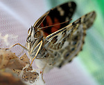 A painted lady butterfly emerges from his chrysalis in Gardnerville, Nev., on Saturday, Sept. 24, 2011..Photo by Cathleen Allison