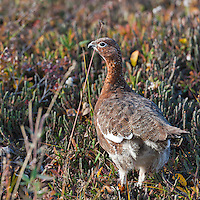 Willow ptarmigan stands in the autumn tundra in Denali National Park, interior, Alaska.