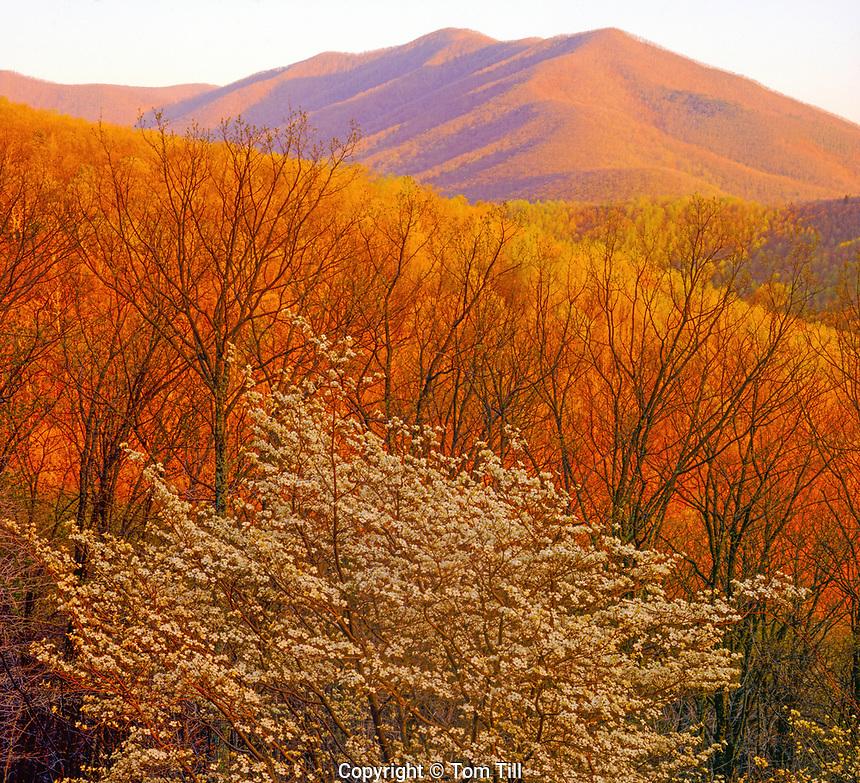 Flowering dogwood, Blue Ridge PArkway, Virginia, near James River, Southern Appalachians, Sunrise, Jefferson National Forest, MAy