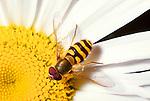 Syrphus ribesii hoverfly on Shasta daisy