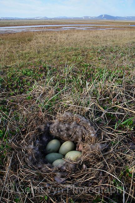 Nest and eggs of Common Eider (Somateria mollissima). Seward Peninsula, Alaska. June.