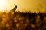 Eastern Grey Kangaroo (Macropus giganteus) female licking arm to cool down in grassland at sunset, Mount Taylor Nature Reserve, Canberra, Australian Capital Territory, Australia