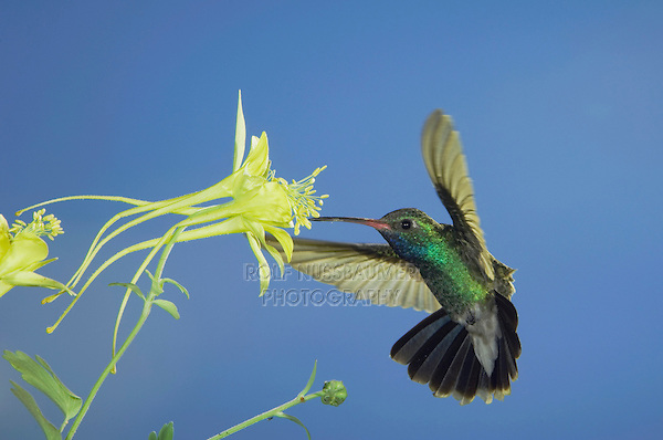 Broad-billed Hummingbird, Cynanthus latirostris, male in flight feeding on longspur columbine(Aquilegia longissima), Madera Canyon, Arizona, USA, May 2005