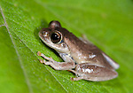Frog, Boophis Species, family Mantellidae, Nr Mantadia National Park, Andasibe, Madagascar, on leaf at night,