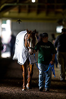 ELMONT, NY - JUNE 07: Justify cools out after completing preparations for the 150th Belmont Stakes at Belmont Park on June 07, 2018 in Elmont, New York. (Photo by Alex Evers/Eclipse Sportswire/Getty Images)