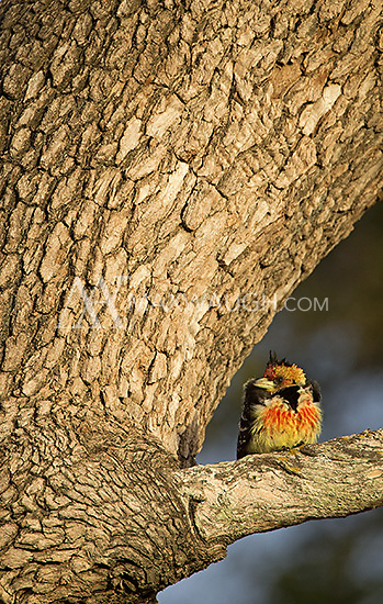 A crested barbet seen at MalaMala Game Reserve.