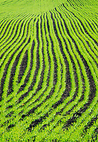 Winter wheat shoots come up in the fall in patterns of rows, Door County, Wisconsin